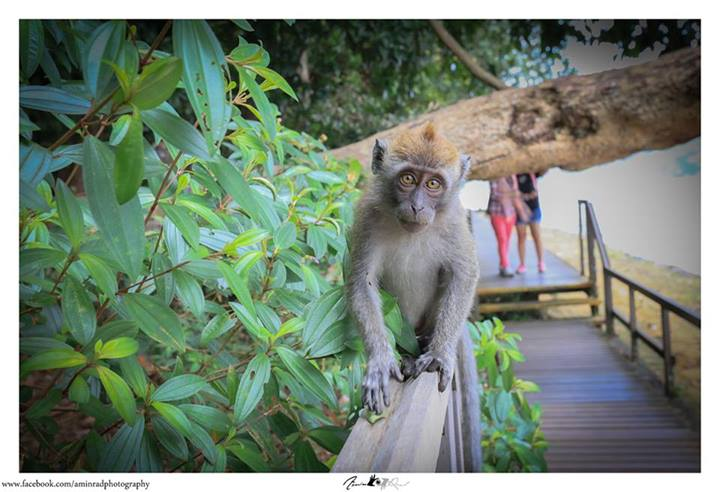 Monkeys at Macritchie
