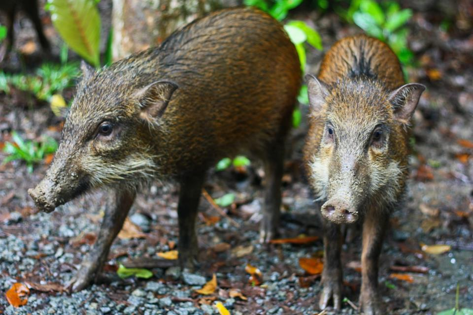 Pulau Ubin Wild Boars